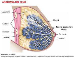 anatomia seno